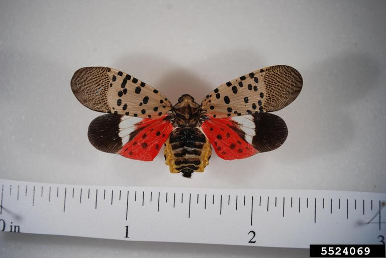An adult Spotted Lantern Fly