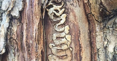 Typical damage caused by the Emerald Ash Borer.