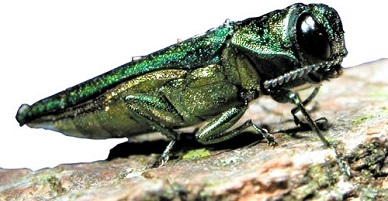 "An adult Emerald Ash Borer. Adults are metallic green with a coppery green head, elongated, about ½"" long and 1/16"" wide and are typically found late spring through summer."